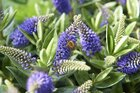 A warm welcome for bees and butterflies with Hebe Addenda®!