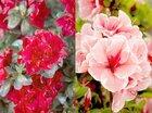 Flowering Rhododendrons at Plantarium 2019