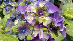 Best Novelty Plantarium 2017: Hydrangea macrophylla 'Jong 01' (Lady Mata Hari